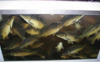 Wpływ zróżnicowanych warunków przetrzymywania ryb na ich stan kondycyjny i zdrowotny